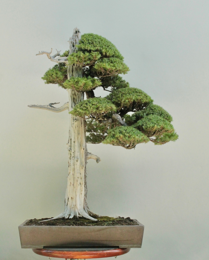 Experiment Results: Foemina Juniper Maintained as Japanese Needle Juniper