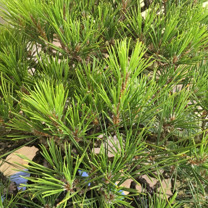 What Causes Yellow Needles in theSpring?