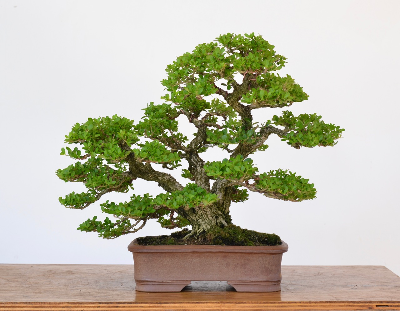 A Review Of Japanese Boxwood As Bonsai Michael Hagedorn
