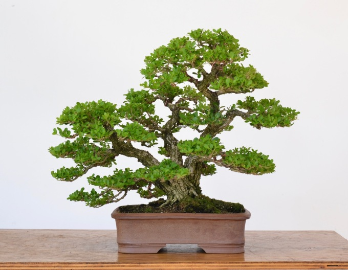 A Review of Japanese Boxwood as Bonsai-