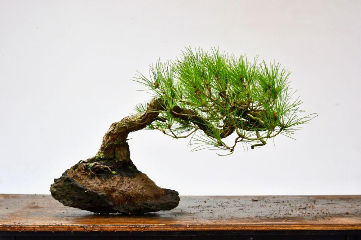 Red Pine / Ponderosa on