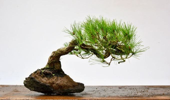 Red Pine / Ponderosa on Rock-