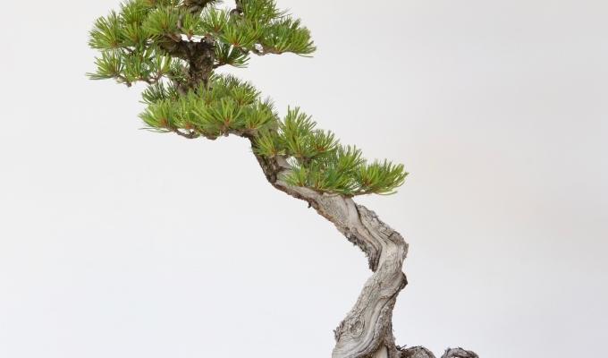Double Helix: Limber PineRevisit