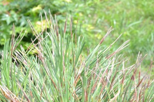 Be a Bonsai Sleuth: What is Needle Cast and What is Overwatering for Pines?