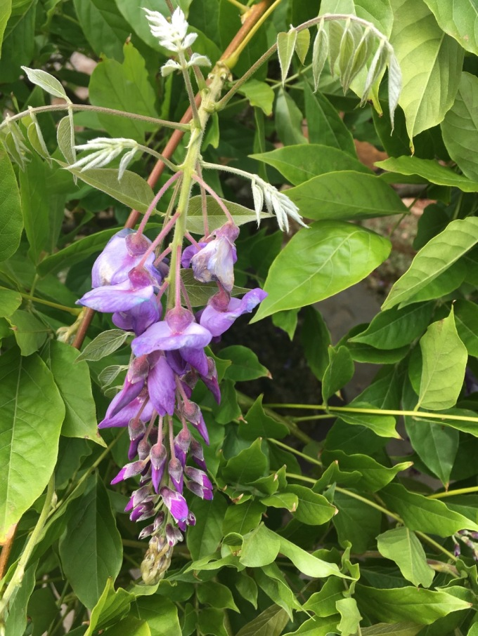 Why Won't My Wisteria Bloom?