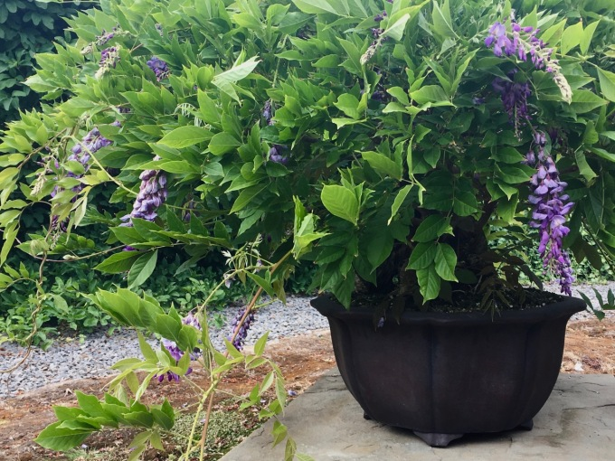 A Trick to Try with Your Wisteria this Summer-