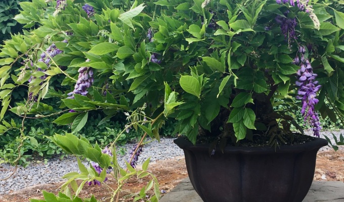 A Trick to Try with Your Wisteria thisSummer-