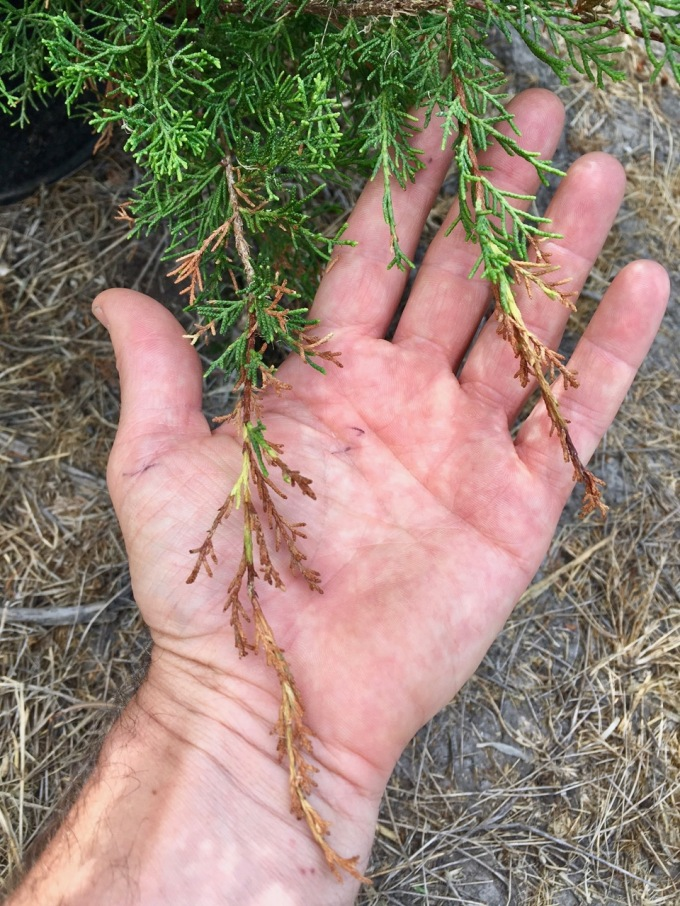 Juniper Tips Dying?