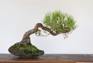 Prune Your Pines Now—In EarlyFall-