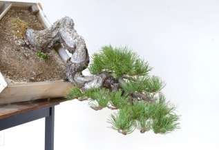 'Stampede' Ponderosa PineStyling…