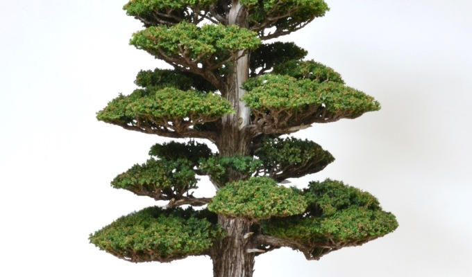 There and Back Again with a Cryptomeria-