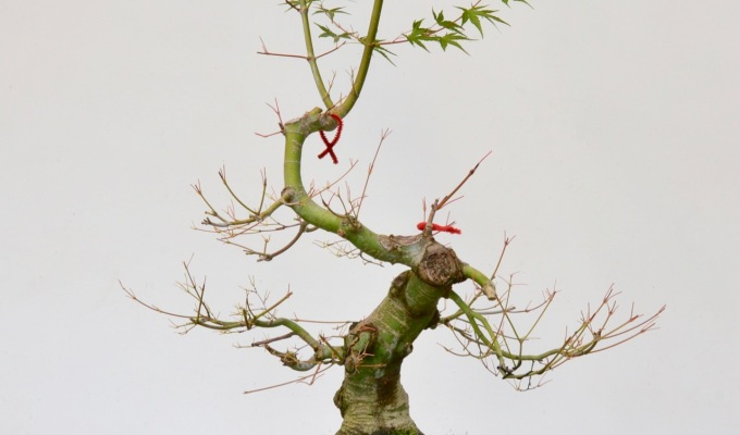 Deciduous Early Development Part I: Japanese Maple