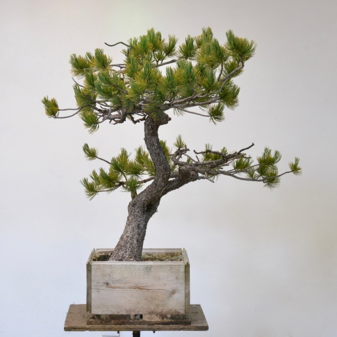 Limber Pine First Styling Michael Hagedorn