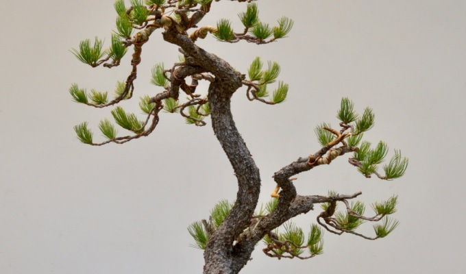 Limber Pine First Styling-