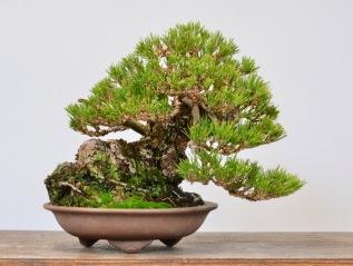 Black pine/Ponderosa Frankie TreeRevisit-
