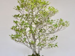 Arizona Alder in Unusual Presentation-
