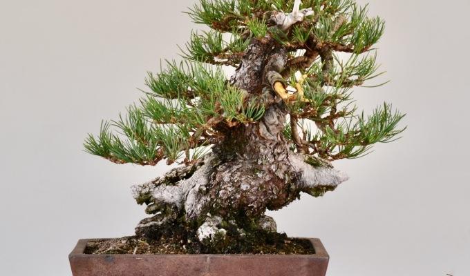 Squatty Limber PineStyling-