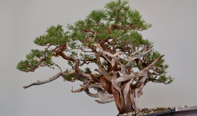 Tree-like Juniper Styling