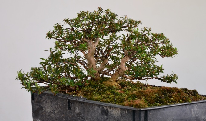 Revisiting A Dead-Topped Azalea-