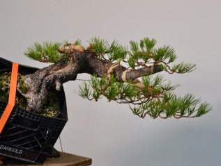 Shore Pine From Telperion FarmsStyled-