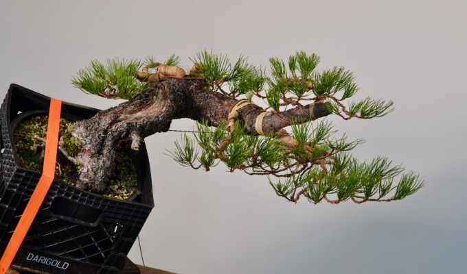 Shore Pine From Telperion Farms Styled-