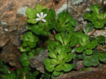 Saxifragaceae_-_Saxifraga_cuneifolia-1