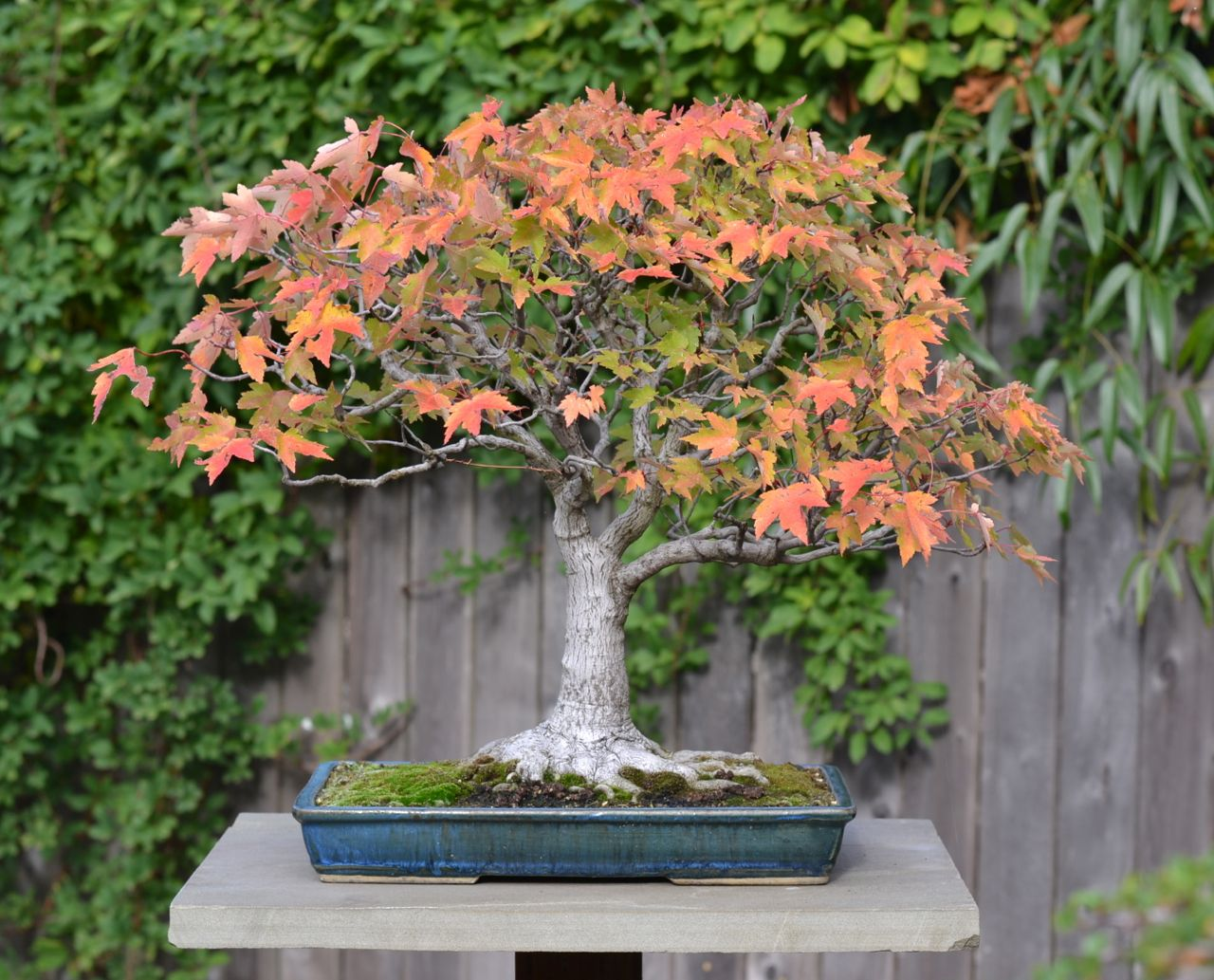 annes-red-maple