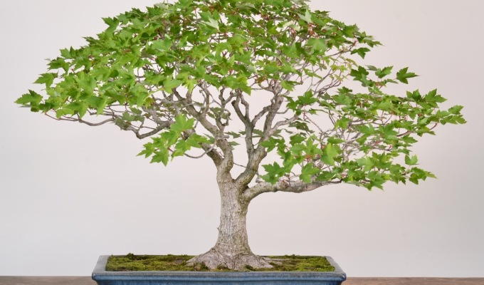 Red Maple asBonsai